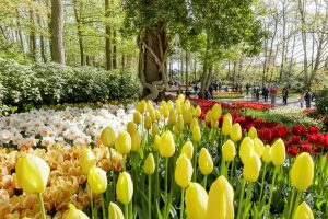 Half-day tour to Keukenhof and tulip fields from Amsterdam